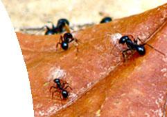 ants, ant control