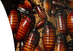 cockroaches, cockroach control