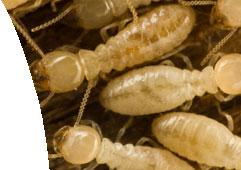 termites, termite control